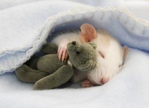 Кастрация крыс