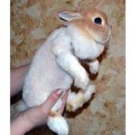 Стрижка кроликов1