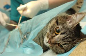 Хирургия для кошек